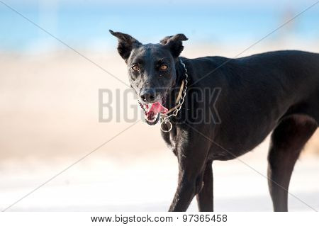 Black Greyhound Looks At The Camera With Beach And Sea Behind