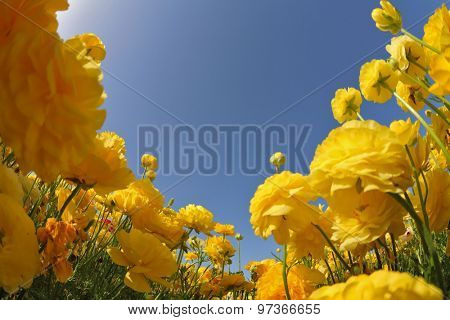 Spring in Israel. Picturesque field of bright yellow buttercups - ranunculus.