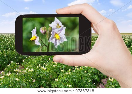 Tourist Takes Picture Of Potato Flowers At Field