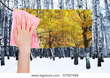 Hand Deletes Bare Birch Trunks By Pink Cloth