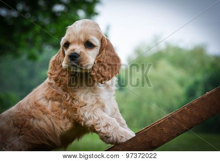 curious puppy climbing up a ladder - american cocker spaniel