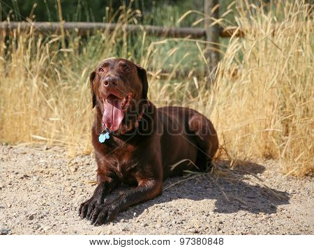 a chocolate labrador retriever posing for the camera during a hot summer day  with his tongue poking out