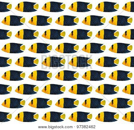 Bicolor Angelfish Pattern