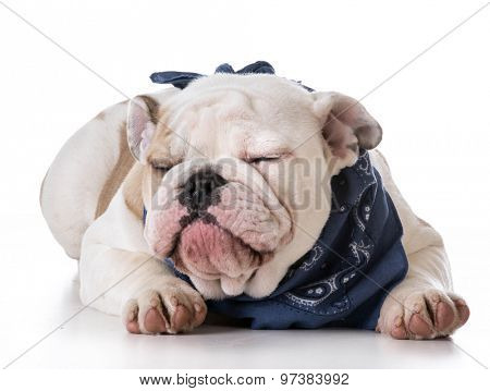 cute puppy - bulldog puppy wearing blue bandanna on white background