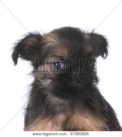 dog listening - brussels griffon puppy