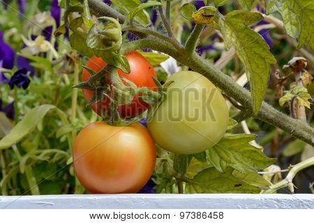 Three Ripening Tomatoes
