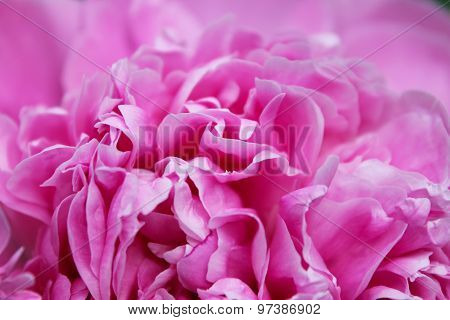 Peony Flower Close-up