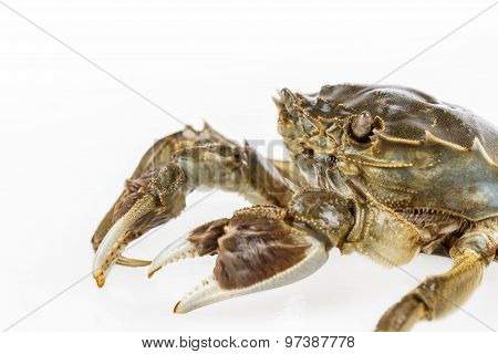 Freshwater Crab Macro