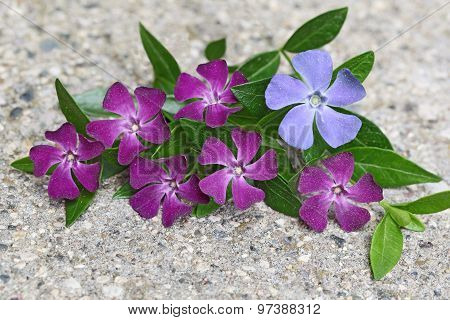 Vinca On Concrete