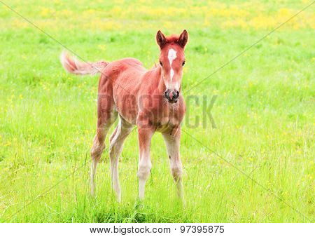 The Little Foal In The Meadow
