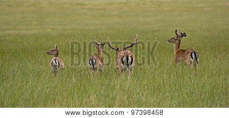 Deer In High Grass