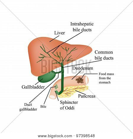 The anatomical structure of the liver, gallbladder, bile ducts and pancreas. Vector illustration on