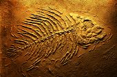 stock photo of piranha  - Closeup of big piranha fish skeleton fossils on dark red grungy background - JPG