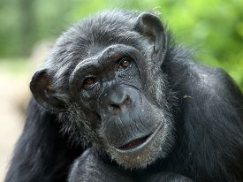 picture of chimp  - Portrait of a Chimpanzee with a green background - JPG