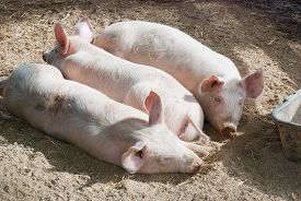 stock photo of pig  - 3 young pigs laying together on ground in pig pen closeup - JPG