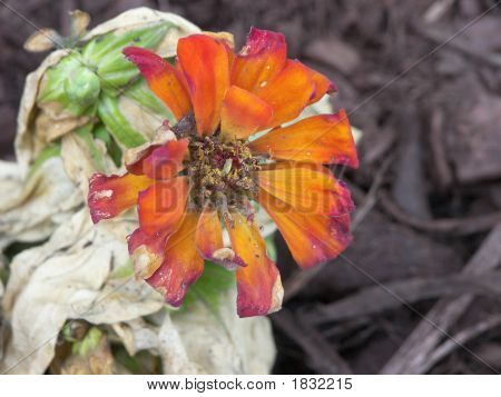 The Death Of A Mexican Sunflower
