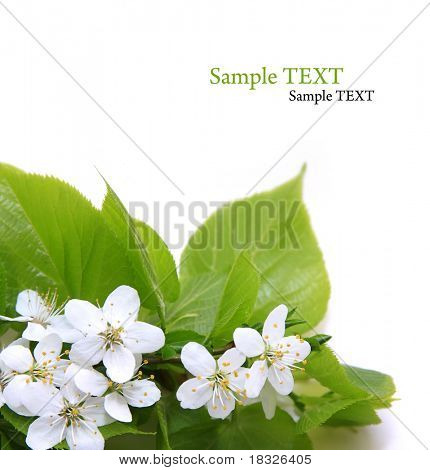 Cherry Blossom and green linden leaf