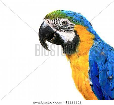 Blue-and-yellow Macaw - Ara ararauna of a white background