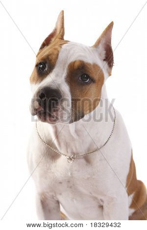 American Staffordshire terrier puppy (4 months) in front of a white background