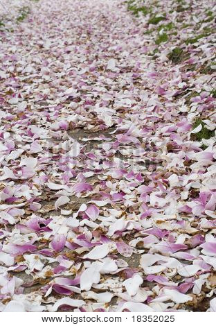 A carpet of cherry blossom flowers on the ground