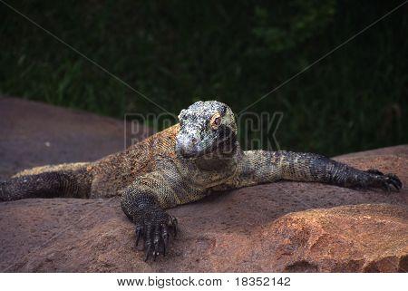 Encuentro cercano del dragón de Komodo en el zoológico local