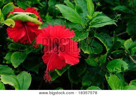 Una flor de hibisco hermosa aislada en hojas verdes