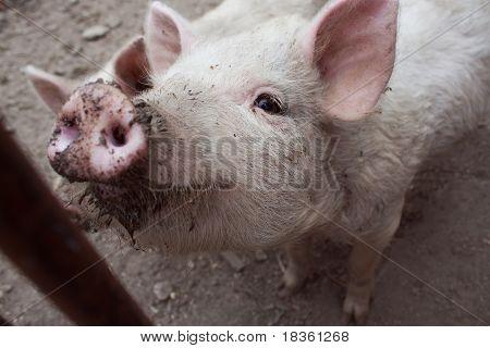 Dirty Pig.