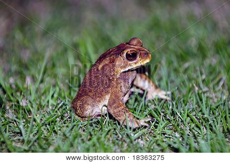 A Toad coming out of the grass for dinner