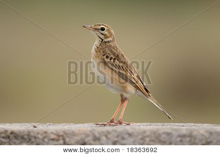 A paddy field pipit resting on a stone wall
