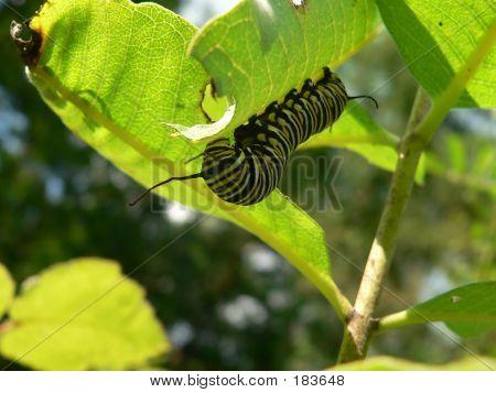 Caterpillar 001