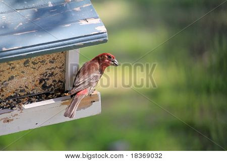 House Finch (carpodacus Mexicanus) Feeding