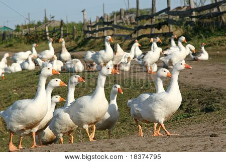 much gooses