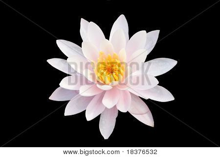 Water lilly nymphaea - Irene - isolated on black background