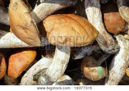 background close- up mushroom of shaggy boletus