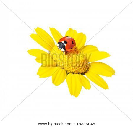 ladybug in a flower isolated on white-clippingpath
