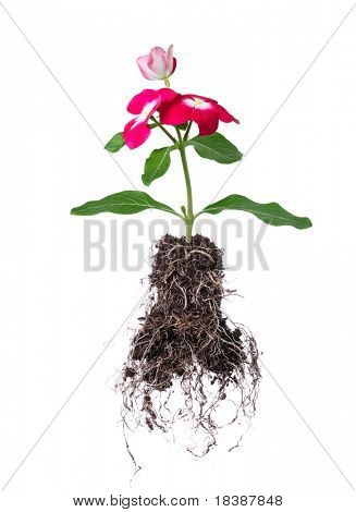 flower with root isolated on white background