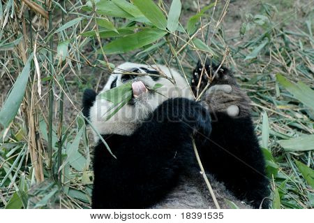 cute giant panda eating bamboo in china