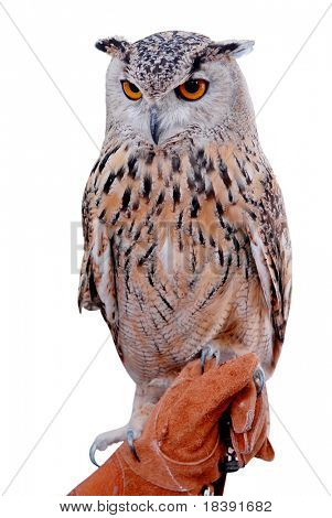 siberian eagle owl, or bubo bubo sibiricus, held by his handler