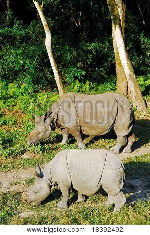 2 schwarzer Nashorn in Chitwan Nationalpark Nepal