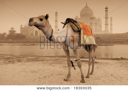 camel in front of worldwonder taj mahal in sepia color