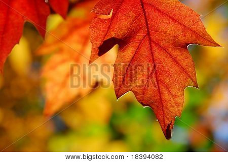 Colorful oak leaves in autumn