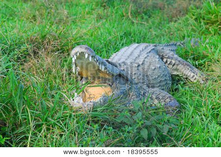 Big crocodile with mouth wide open in Zapata swamp area on caribbean island Cuba