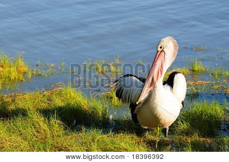 Pelican (pelecanus onocrotalus) in Cairns, Australia