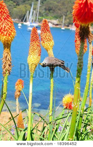 Bird in orange torch lily flowers on Manly beach, Sydney Australia