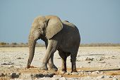 Постер, плакат: Африканский слон