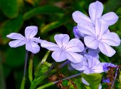 image of transpiration  - Fully bloomed violets on a bright summer day - JPG