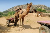 stock photo of camel-cart  - camel safari in desert near jaipur in india - JPG