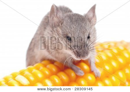 Harvest Mouse, Micromys Minutus, Climbing On  Corn, Studio Shot