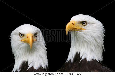Bald Eagle Portraits