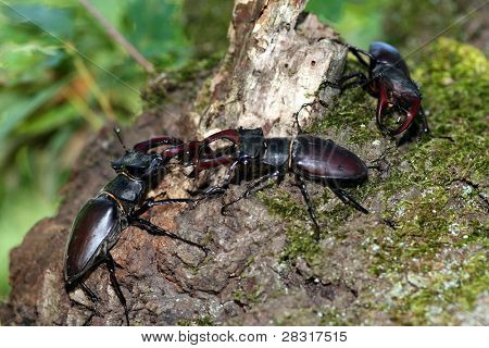 stag beetles in the nature